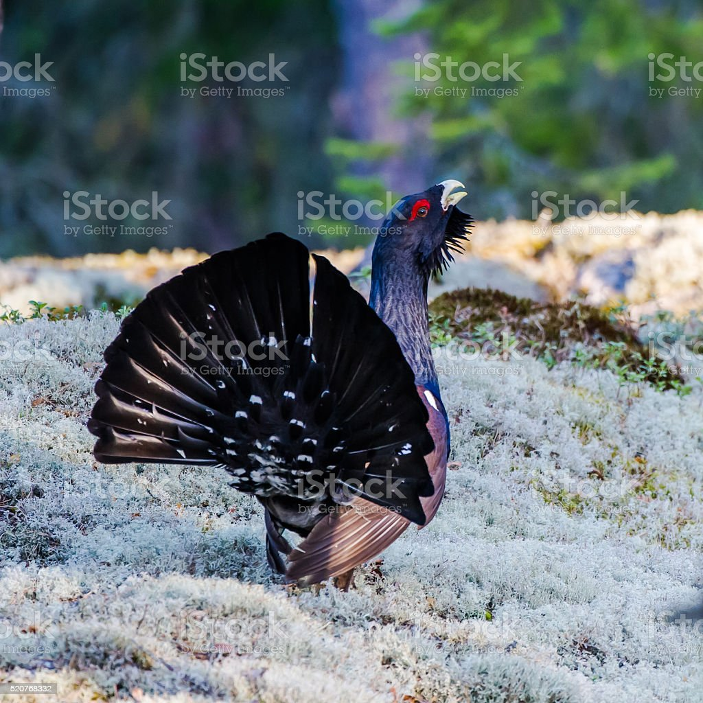 Wood Grouse's Tail stock photo