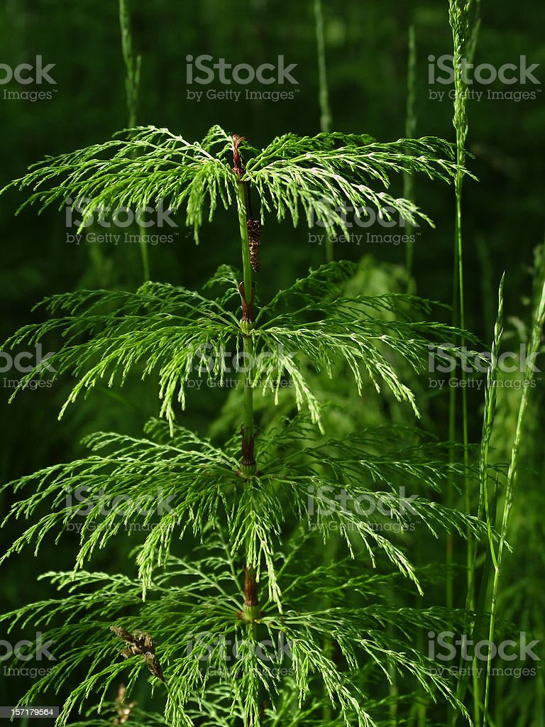 Wood Horsetail royalty-free stock photo