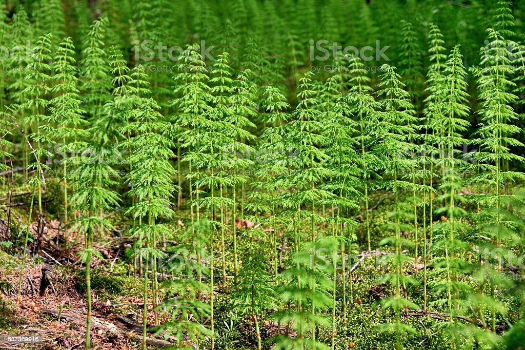 Wood horsetail stock photo