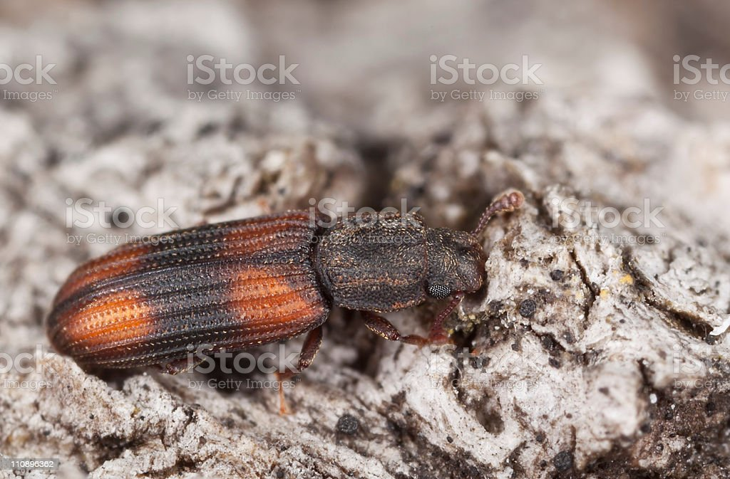 Wood living beetle stock photo