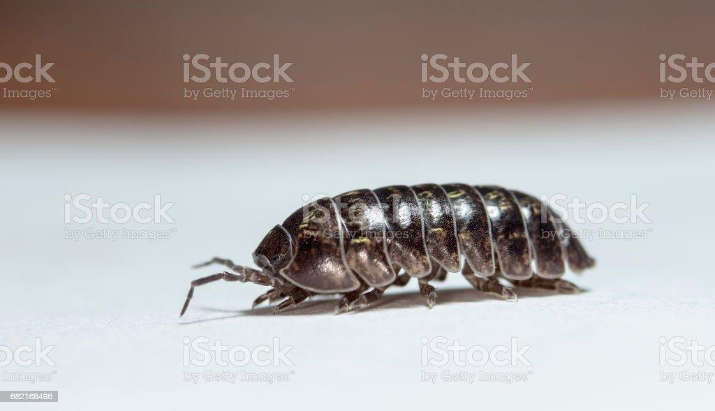 wood louse stock photo