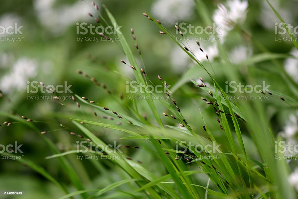 Wood melick (Melica uniflora) stock photo