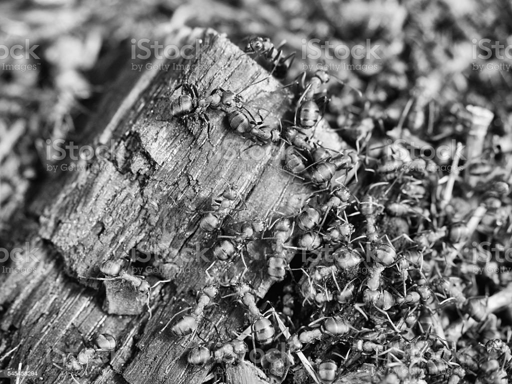 Wood middle of wild ants build their anthill. Ant family stock photo