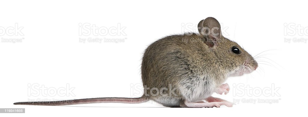Wood mouse faces right on a white background royalty-free stock photo
