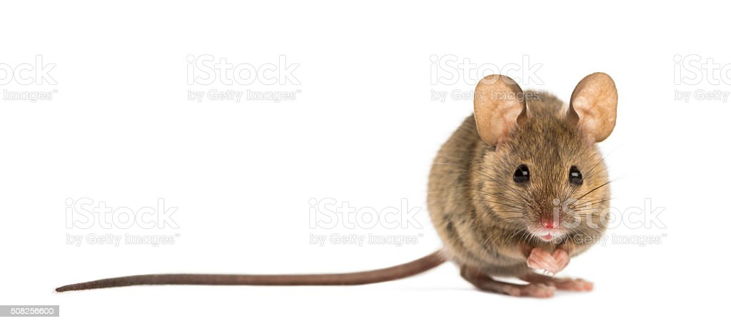 Wood mouse in front of a white background stock photo