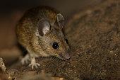 Wood Mouse (Apodemus sylvaticus)