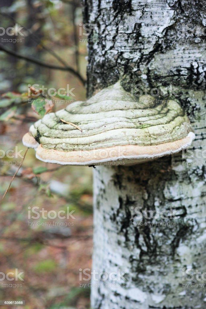 Wood mushroom Polypores stock photo
