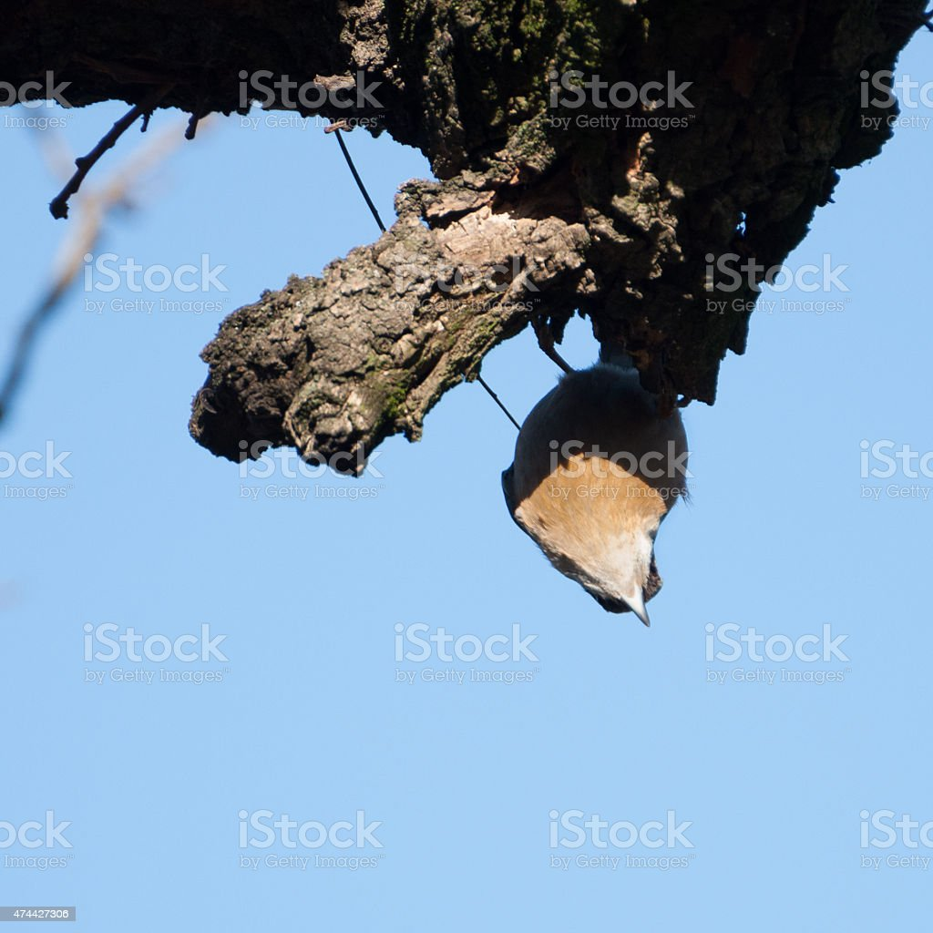 Wood nuthatch hanging upside down royalty-free stock photo