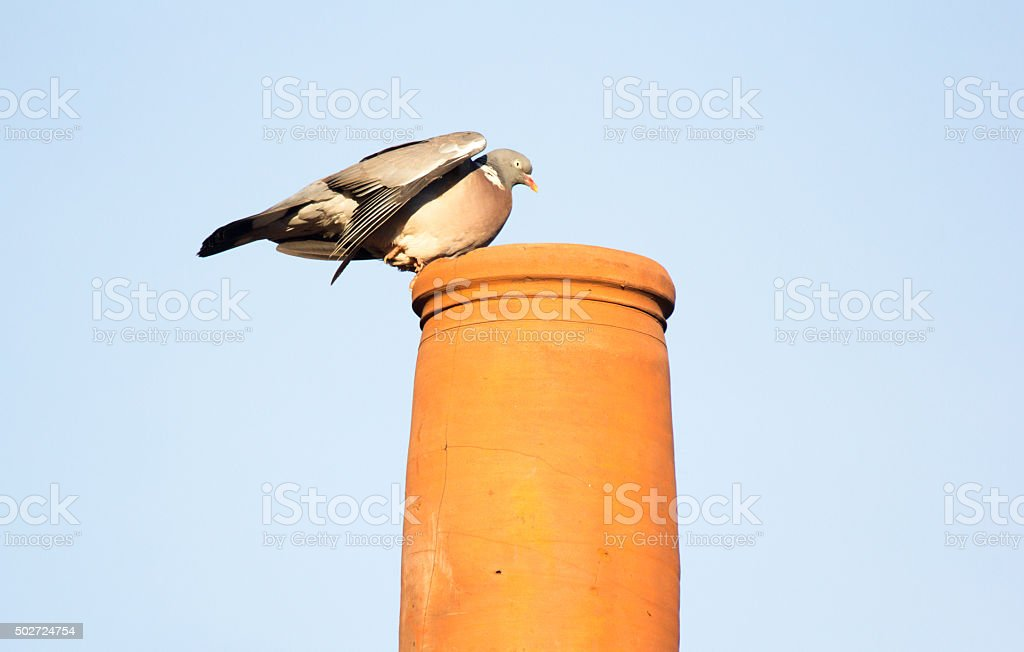 Wood Pigeon in Kent, England stock photo