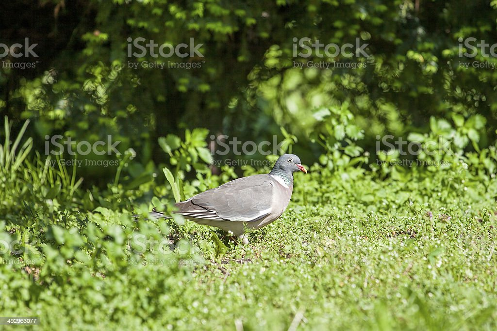 Wood Pigeon (Columba palumbus) stock photo