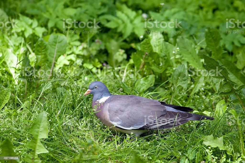 Wood Pigeon (Columba palumbus) royalty-free stock photo
