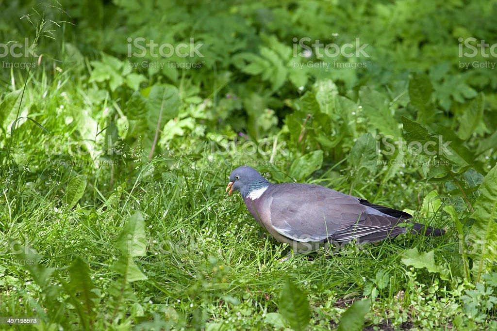 Wood Pigeon royalty-free stock photo