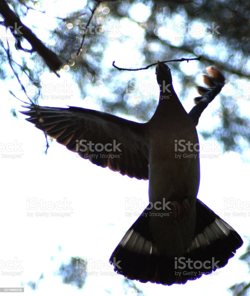 wood pigeon stock photo