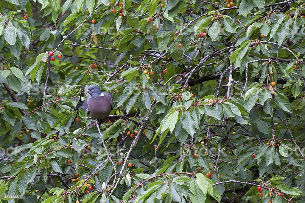 Wood Pigeon rips a Cherry Morello Tree royalty-free stock photo