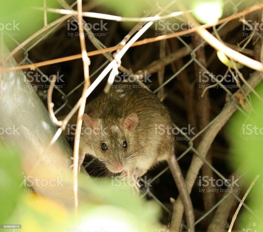 Wood Rat stock photo