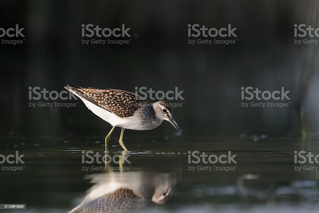 Wood Sandpiper feeding near reeds at the shallow water stock photo