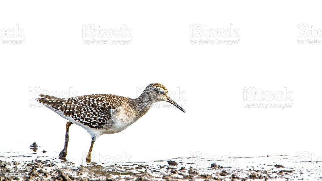 Wood Sandpiper in Kruger National park, South Africa stock photo