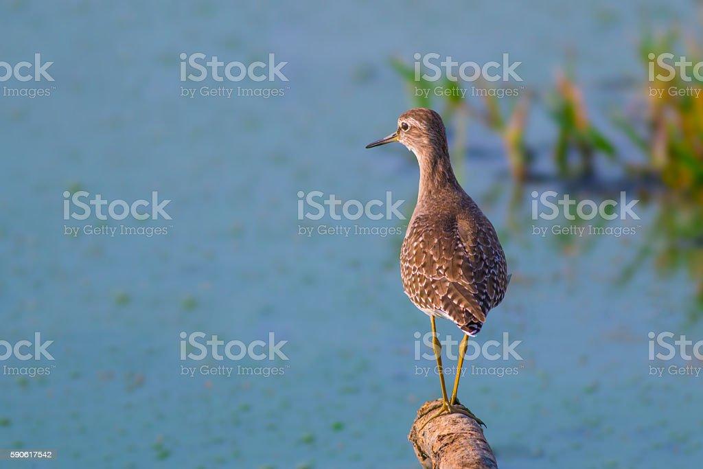Wood sandpiper ( Tringa glareola ) stock photo
