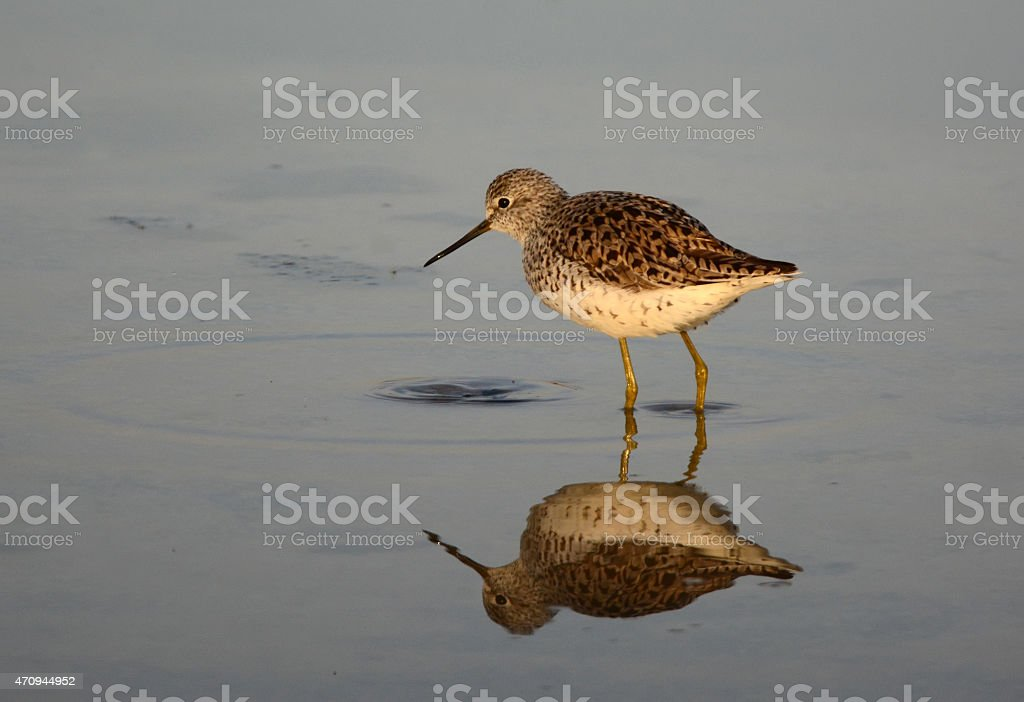 Wood sandpiper Reflection stock photo