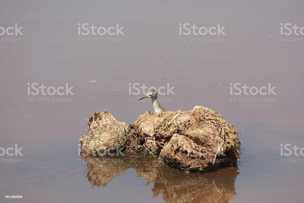 Wood sandpiper Tringa glareola stock photo