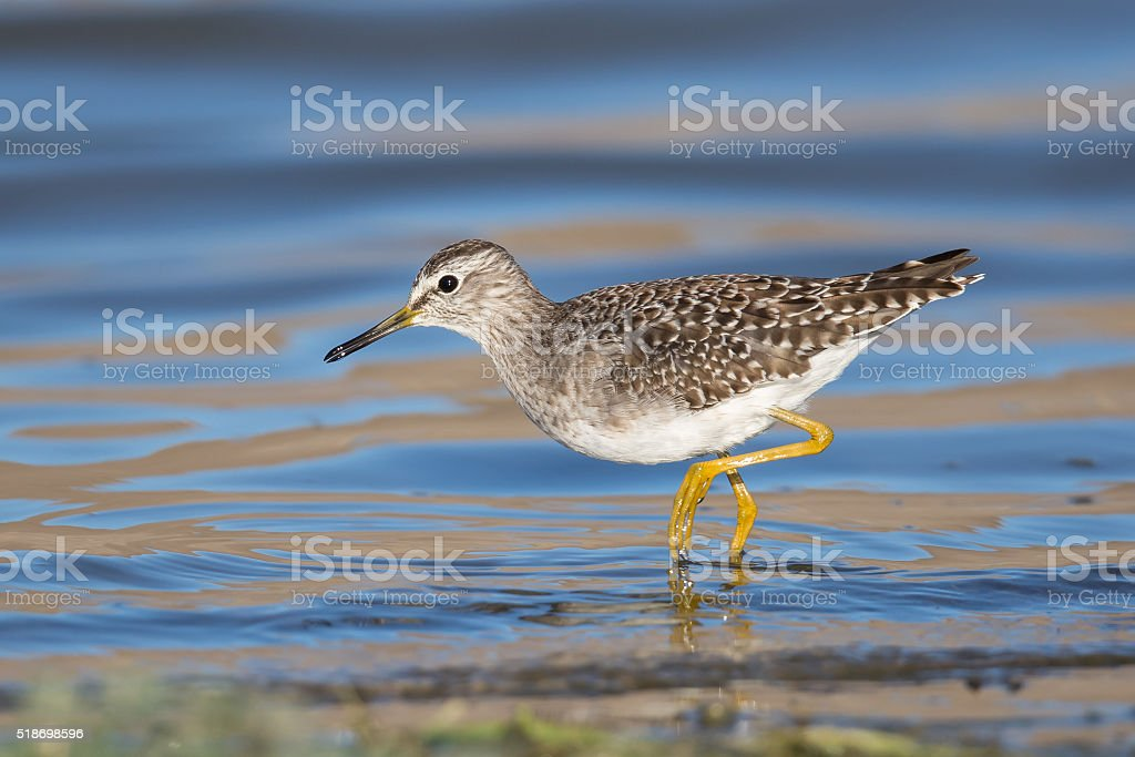 Wood Sandpiper wading in water stock photo
