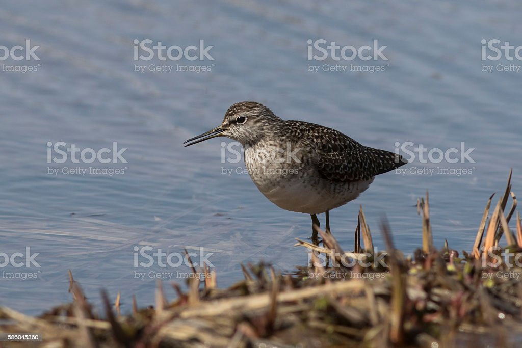 Wood Sandpiper which stands on the bank of the river stock photo