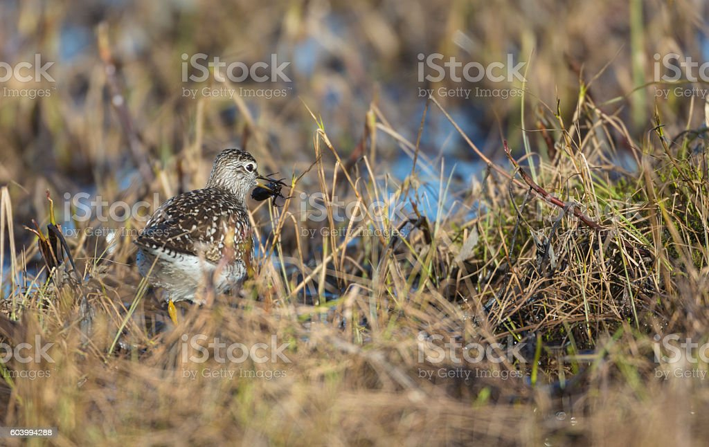 Wood sandpiper with a beetle in his beak stock photo