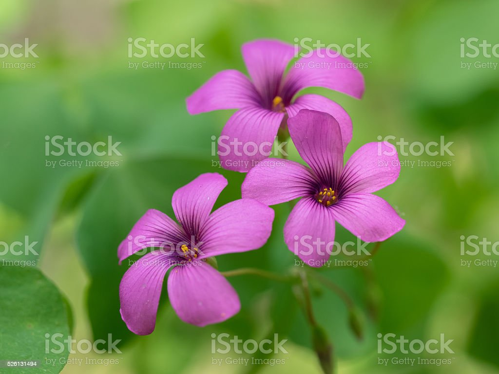 Wood sorrel blooming in the early summer field stock photo