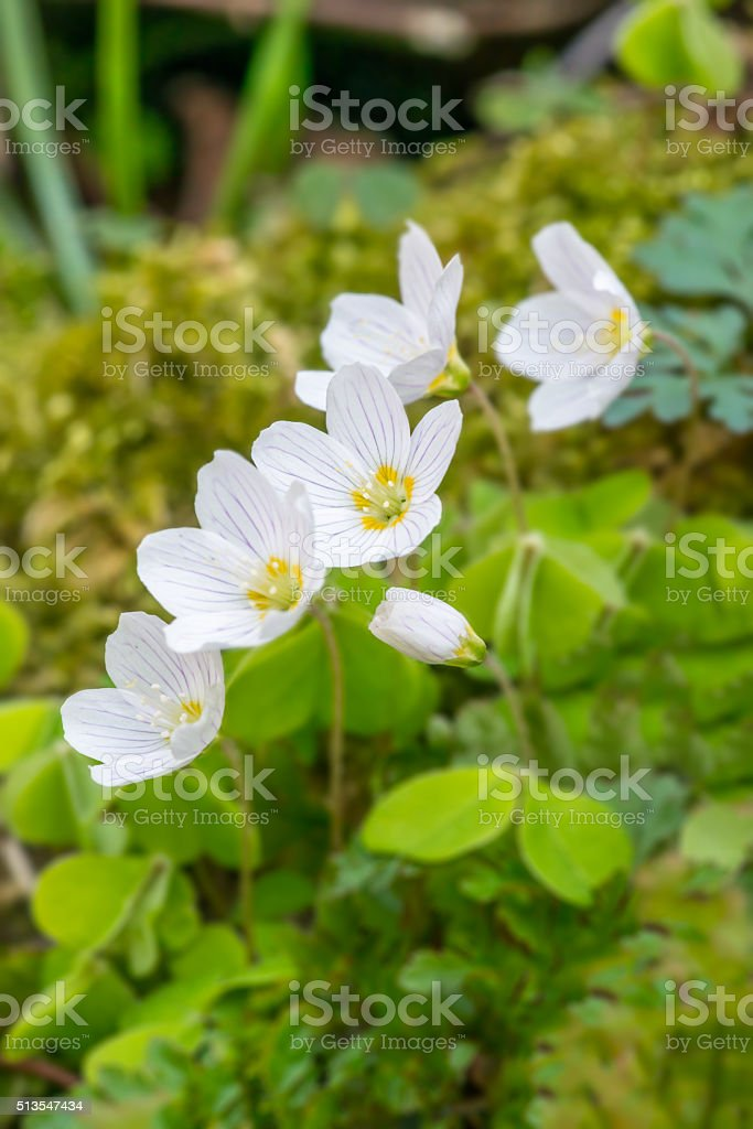 Wood sorrel flowers in spring stock photo
