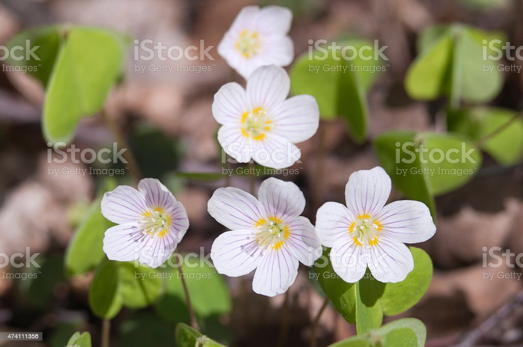 Wood Sorrel flowers stock photo