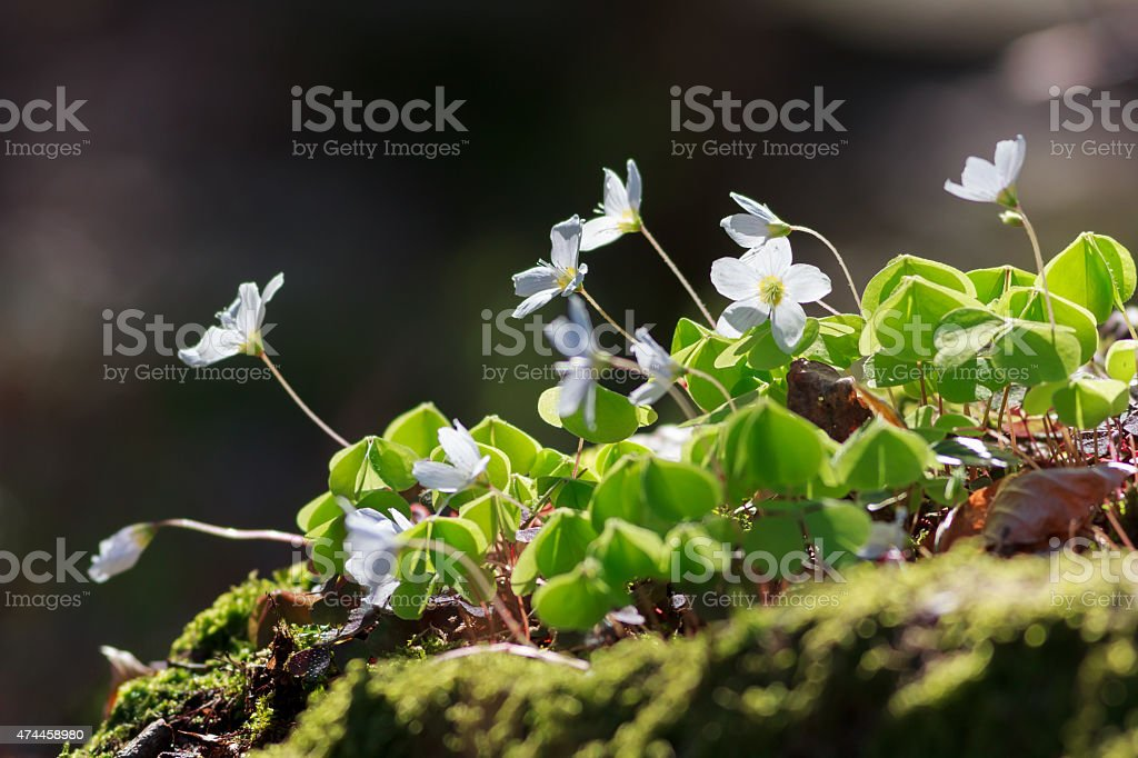 Wood Sorrel or Common Wood Sorrel with a blurred background stock photo