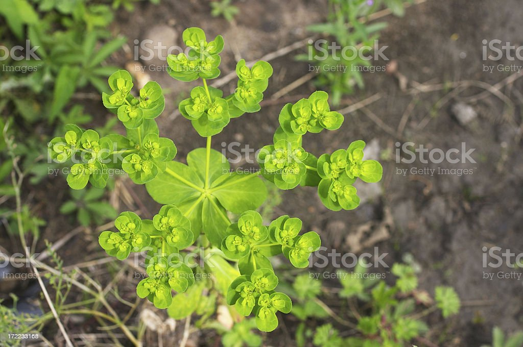 Wood spurge Euphorbia amygdaloides geometry and poetry in one stock photo