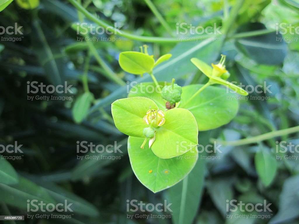 Wood Spurge - Euphorbia amygdaloides stock photo