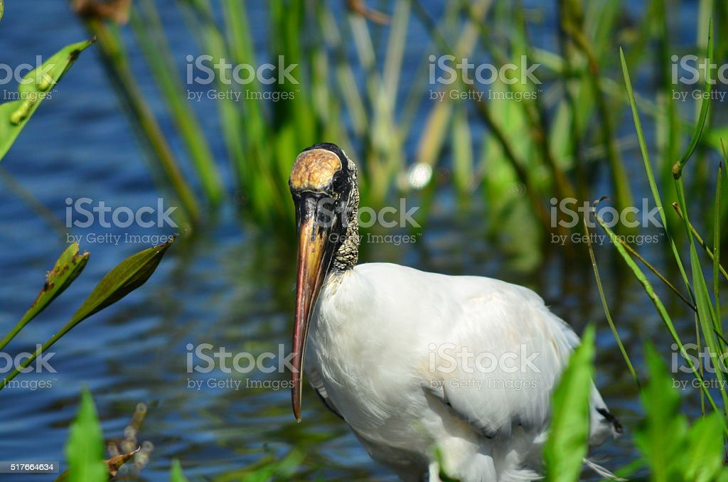 Wood stork facing camera while standing in wetland stock photo