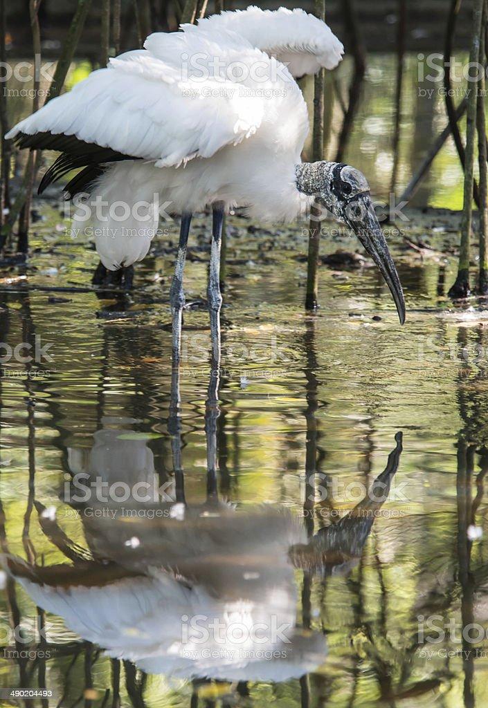 Wood Stork Fishing the Swamp Waters stock photo