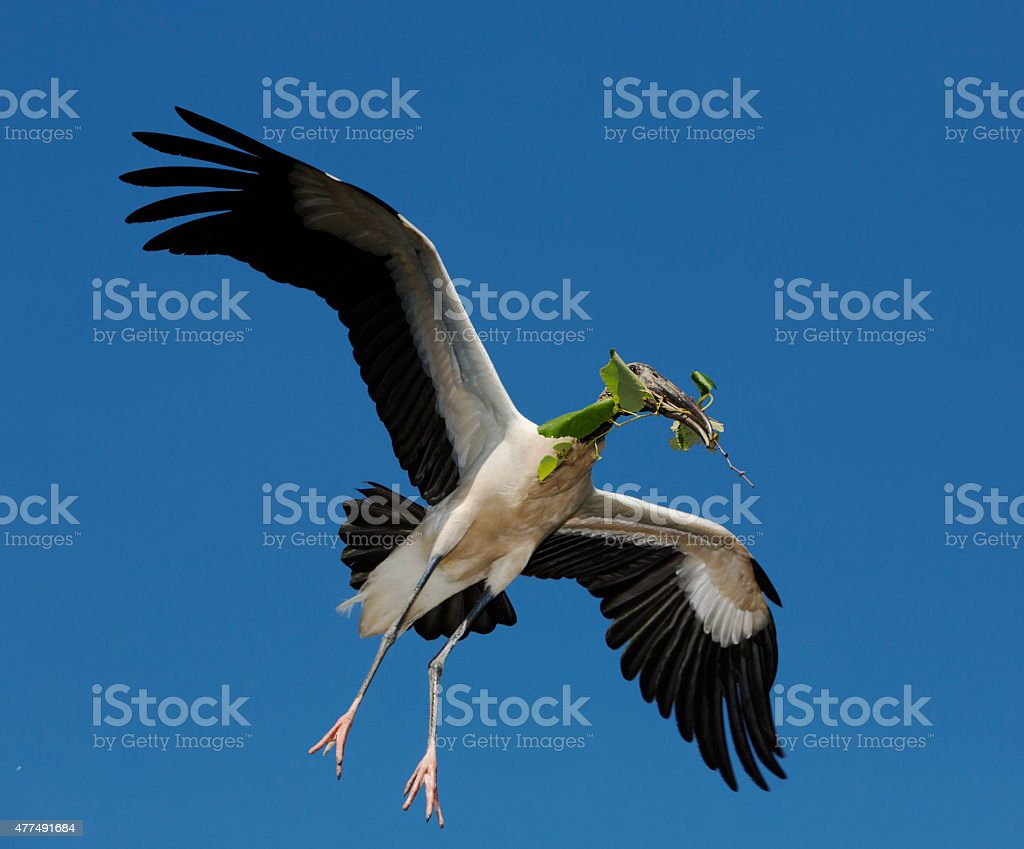 Wood Stork flying stock photo