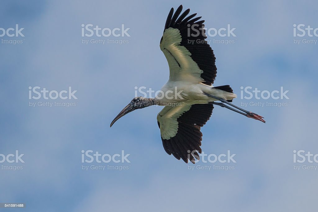 Wood Stork In Flight stock photo