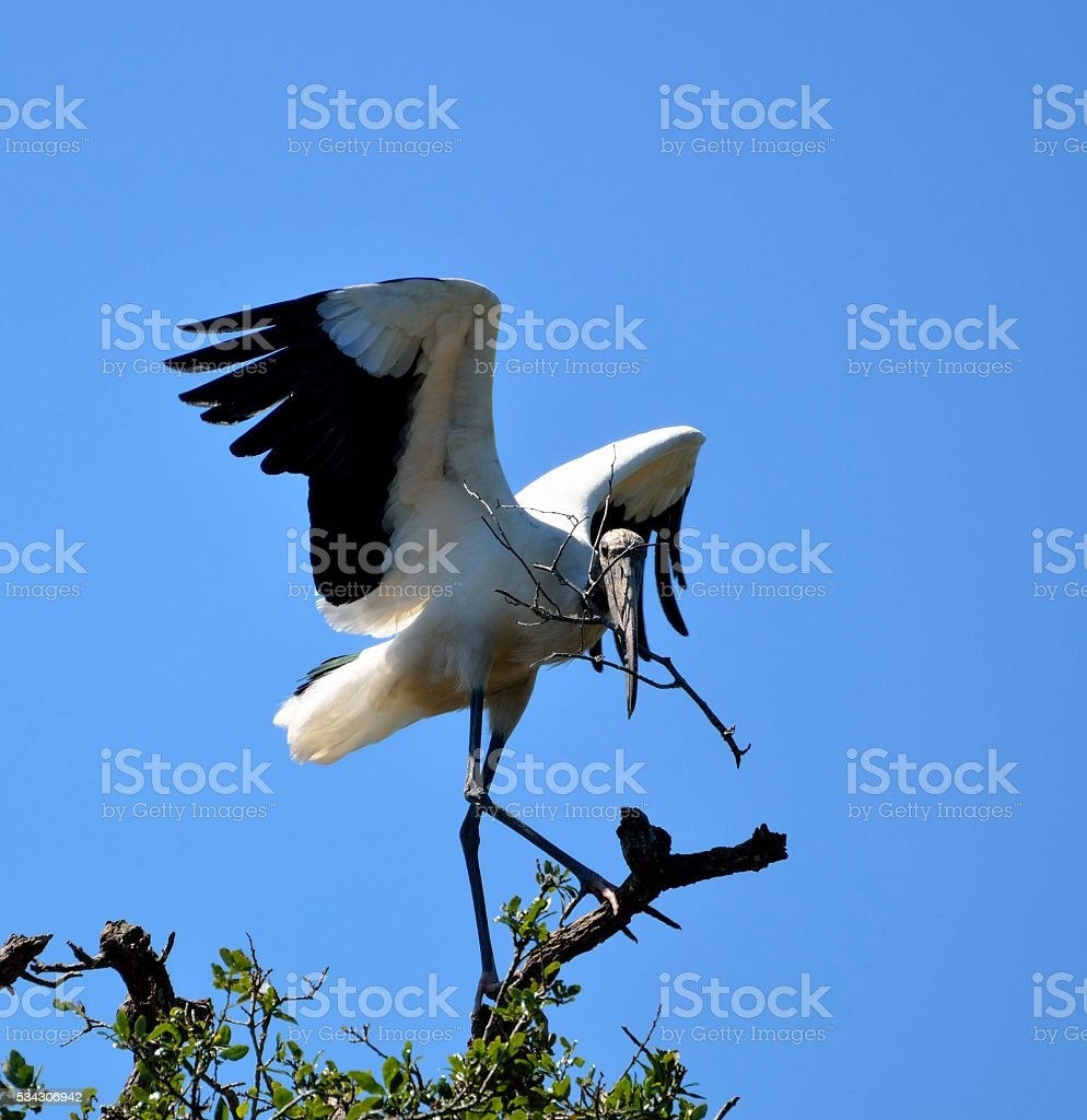 Wood Stork in the wild stock photo