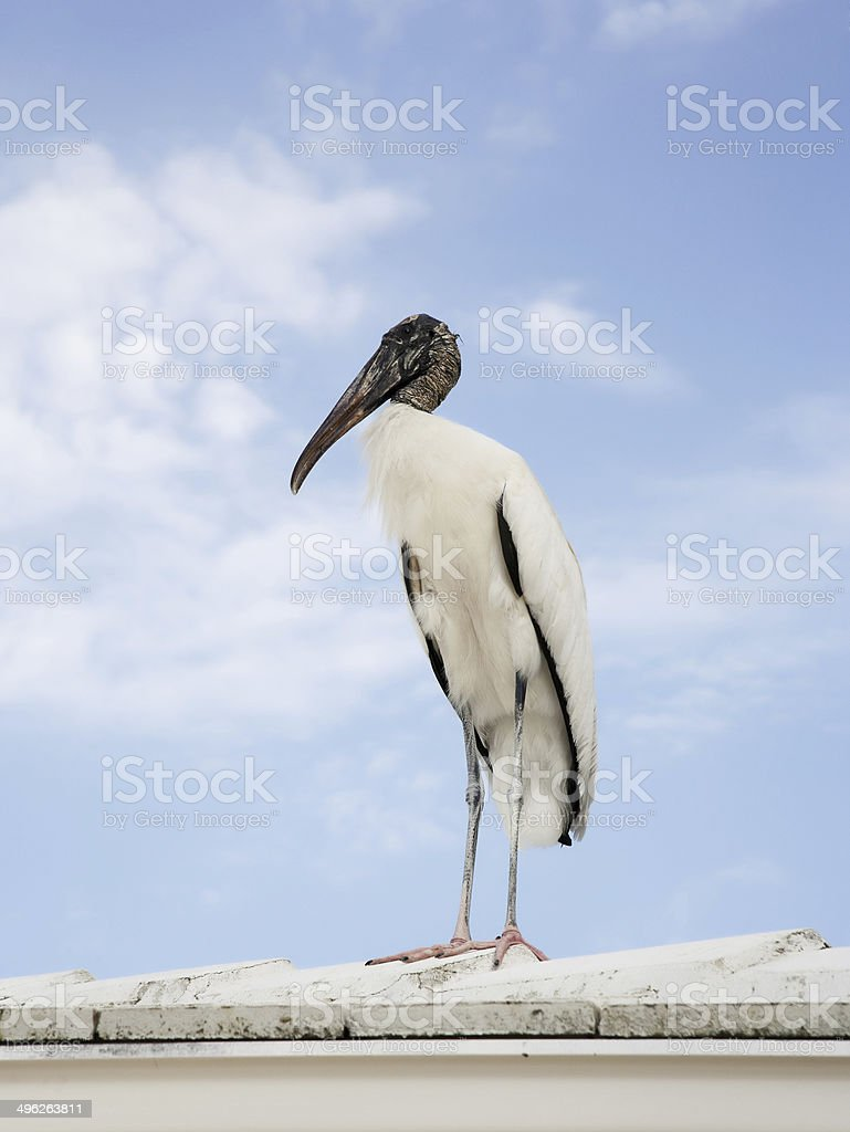 Wood stork landed on the roof sky background stock photo