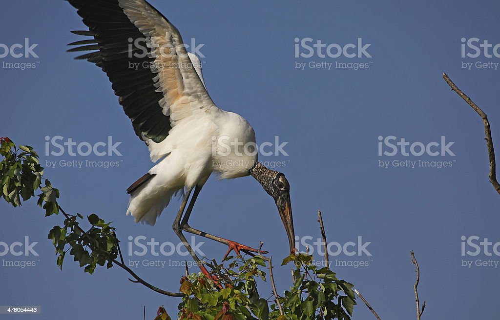 Wood Stork Landing stock photo