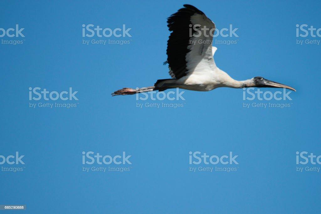 A wood stork, Mycteria americana, flies with wings spread against blue sky. stock photo