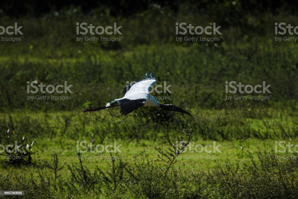A wood stork, Mycteria americana, flies with wings spread over green blurred background. stock photo