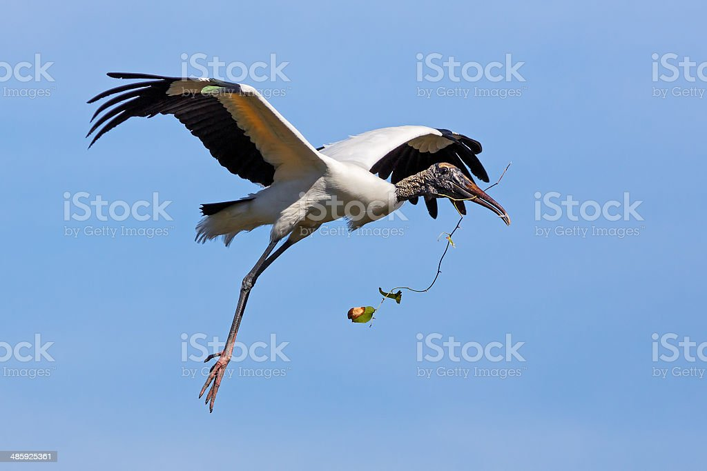 Wood Stork Nest-Building stock photo