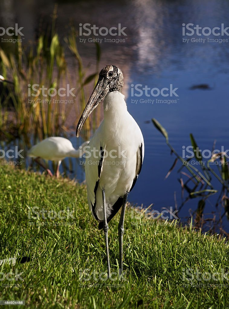 Wood stork on a background of green grass. Nature background stock photo