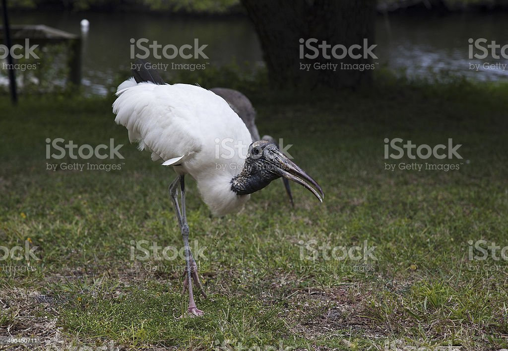 Wood stork on a background of green grass stock photo