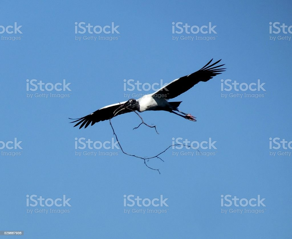 Wood Stork (Mycteria americana) stock photo