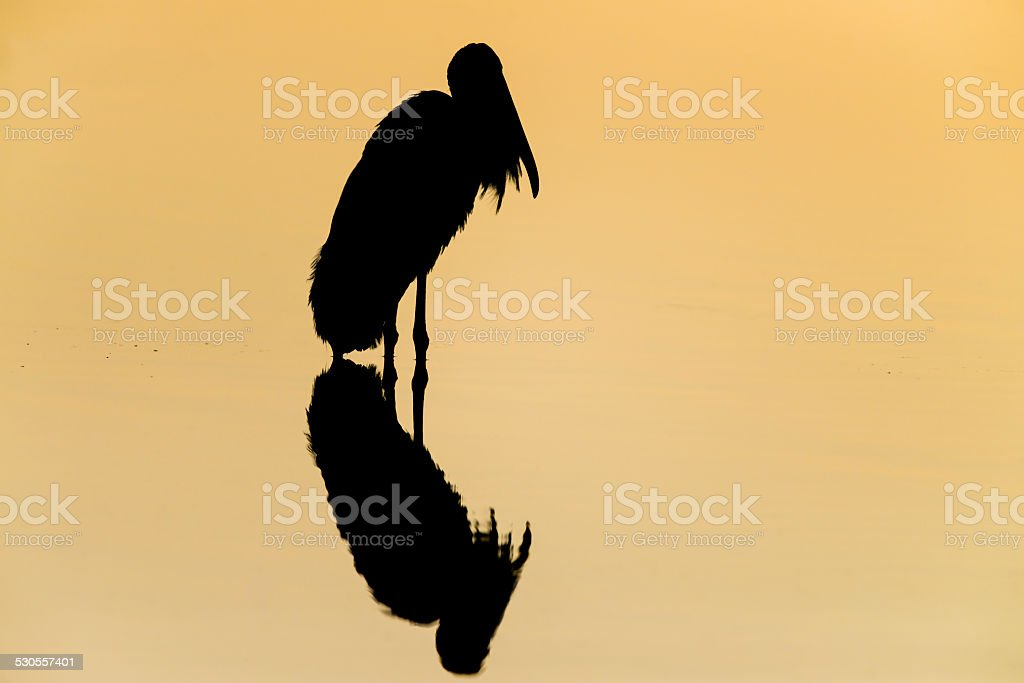 Wood Stork silhouette at sunset stock photo