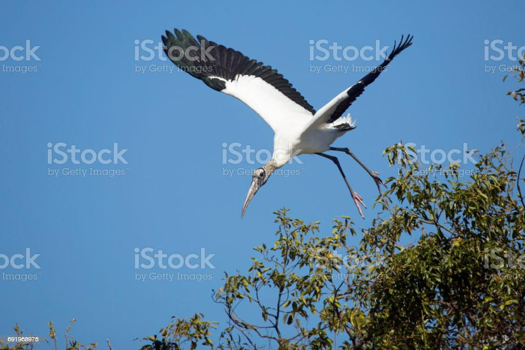 Wood stork taking off in a swamp in central Florida. stock photo