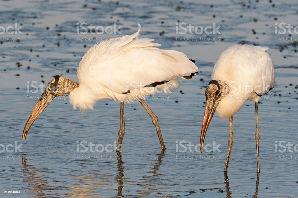 Wood Stork, two birds eating stock photo