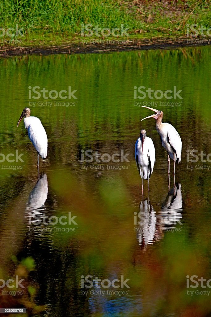 Wood Stork Yawning With Friends stock photo